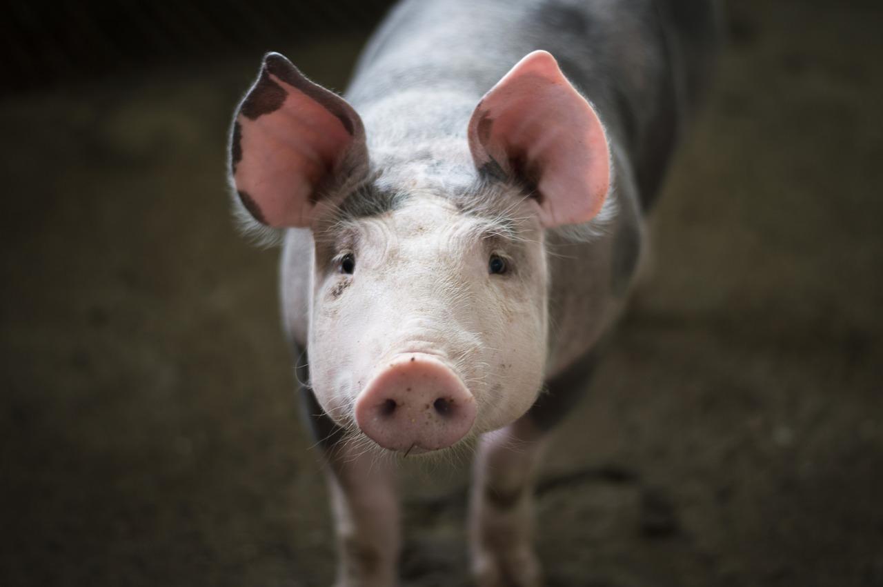 mimpi babi