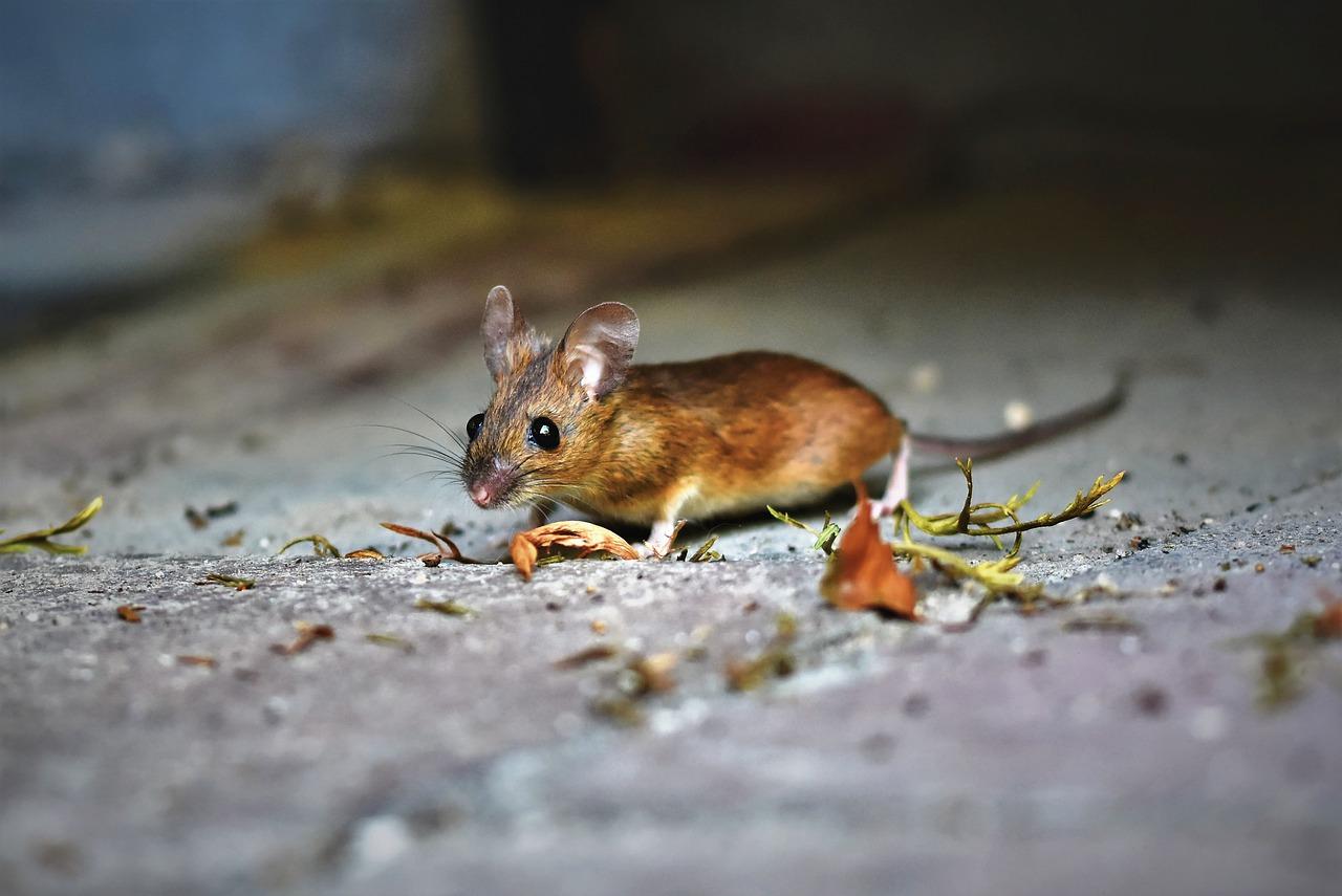 Apa Arti Bermimpi Tikus?