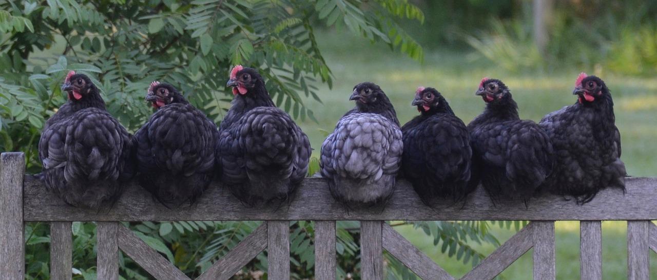 mimpi ayam