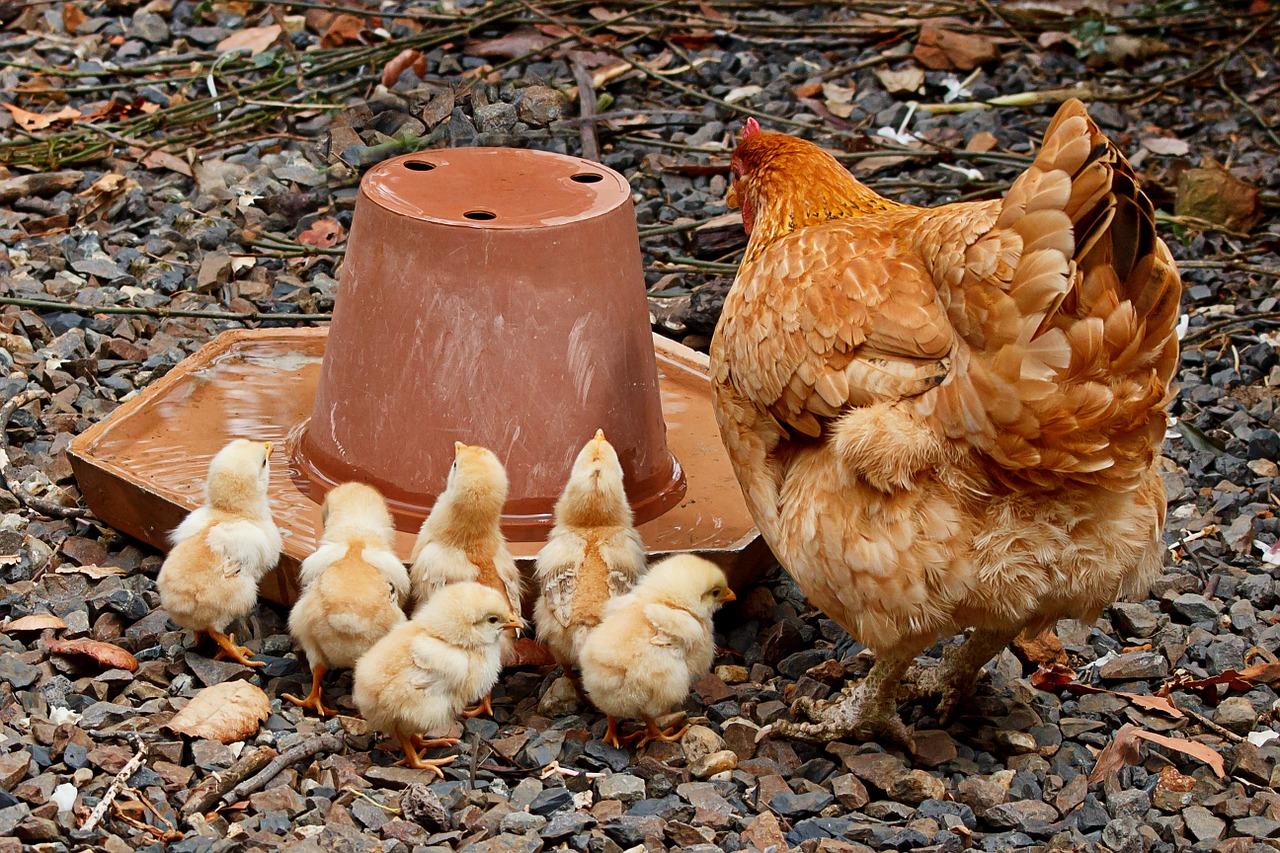 mimpi ayam mati