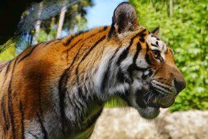 Apa Artinya Mimpi Macan Harimau?