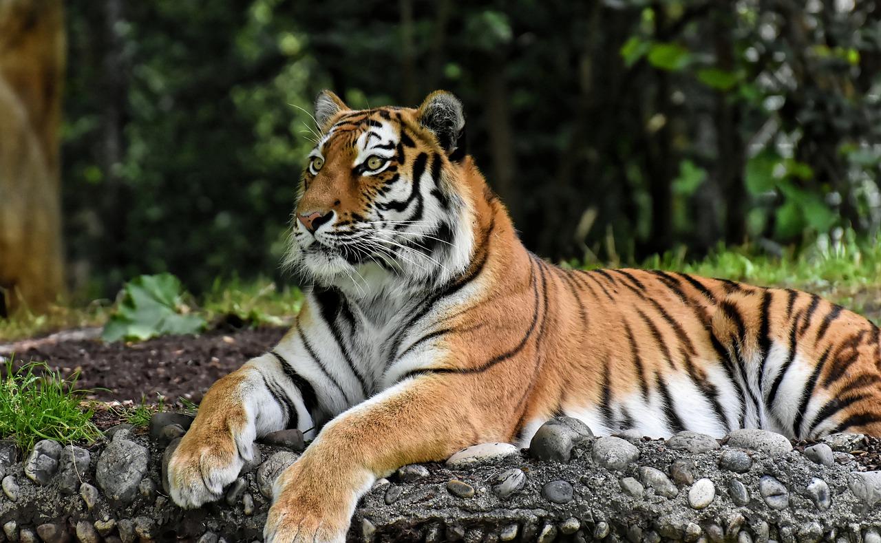 mimpi macan