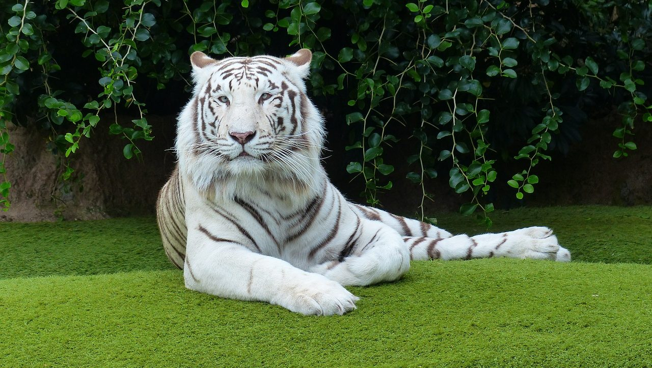mimpi macan putih