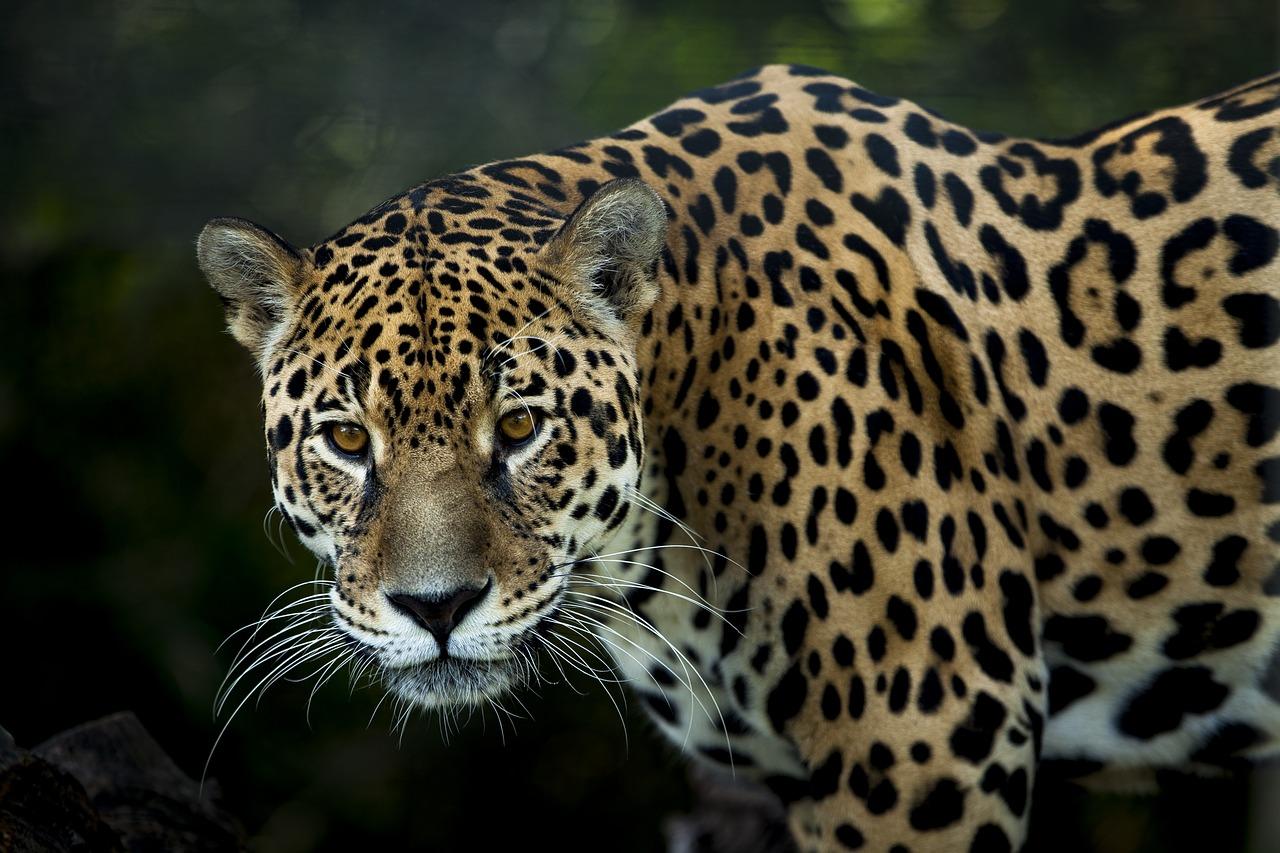 Apa Arti Mimpi Jaguar Macan Tutul?