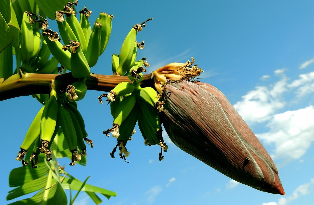 mimpi jantung pohon pisang