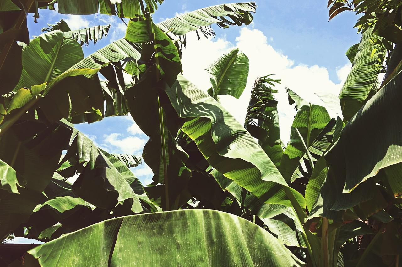 mimpi daun pisang