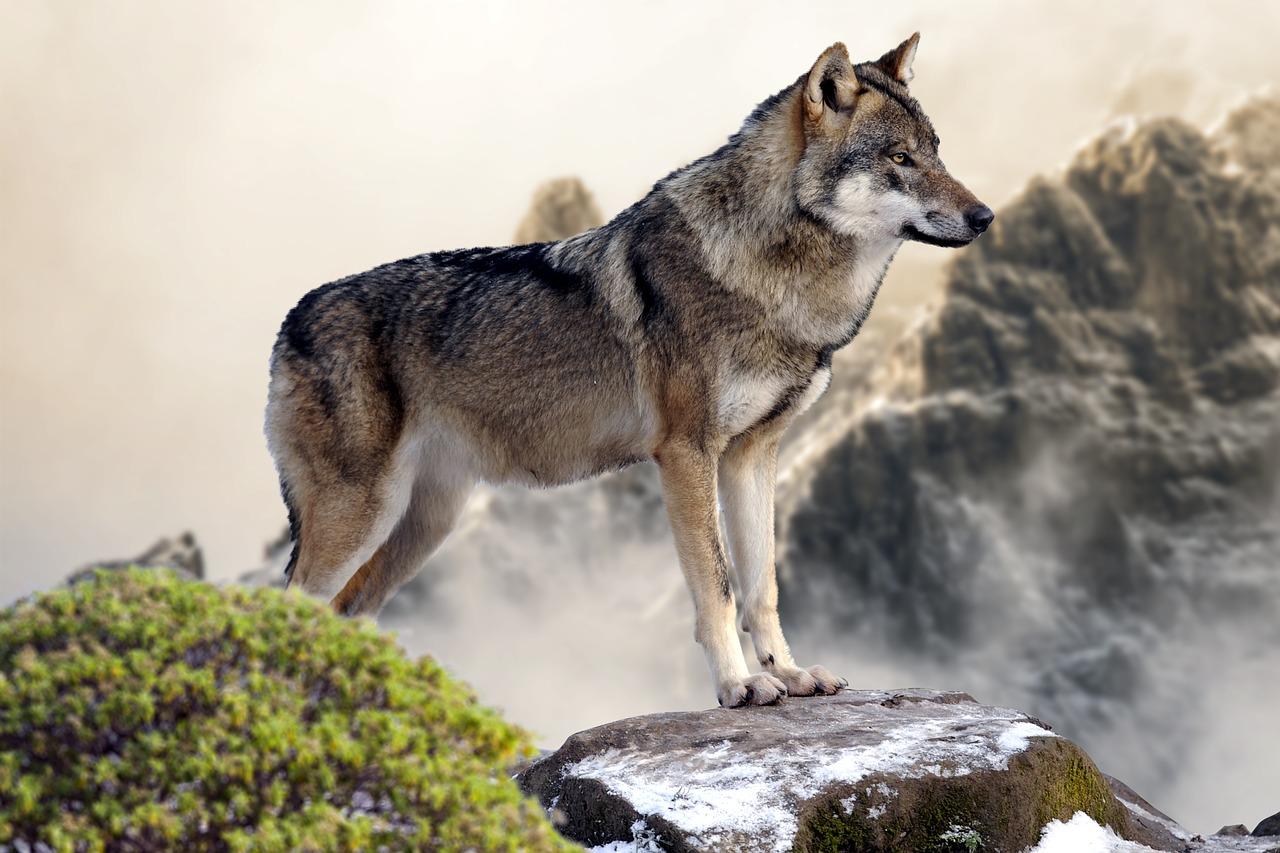 arti mimpi serigala