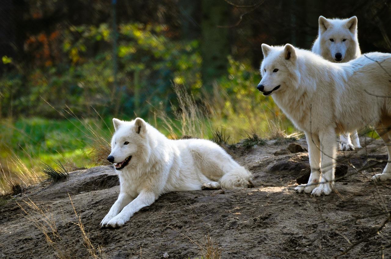 mimpi serigala putih