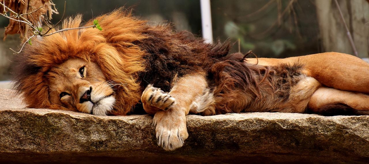 Apa Arti Mimpi Singa Dalam Tidur?