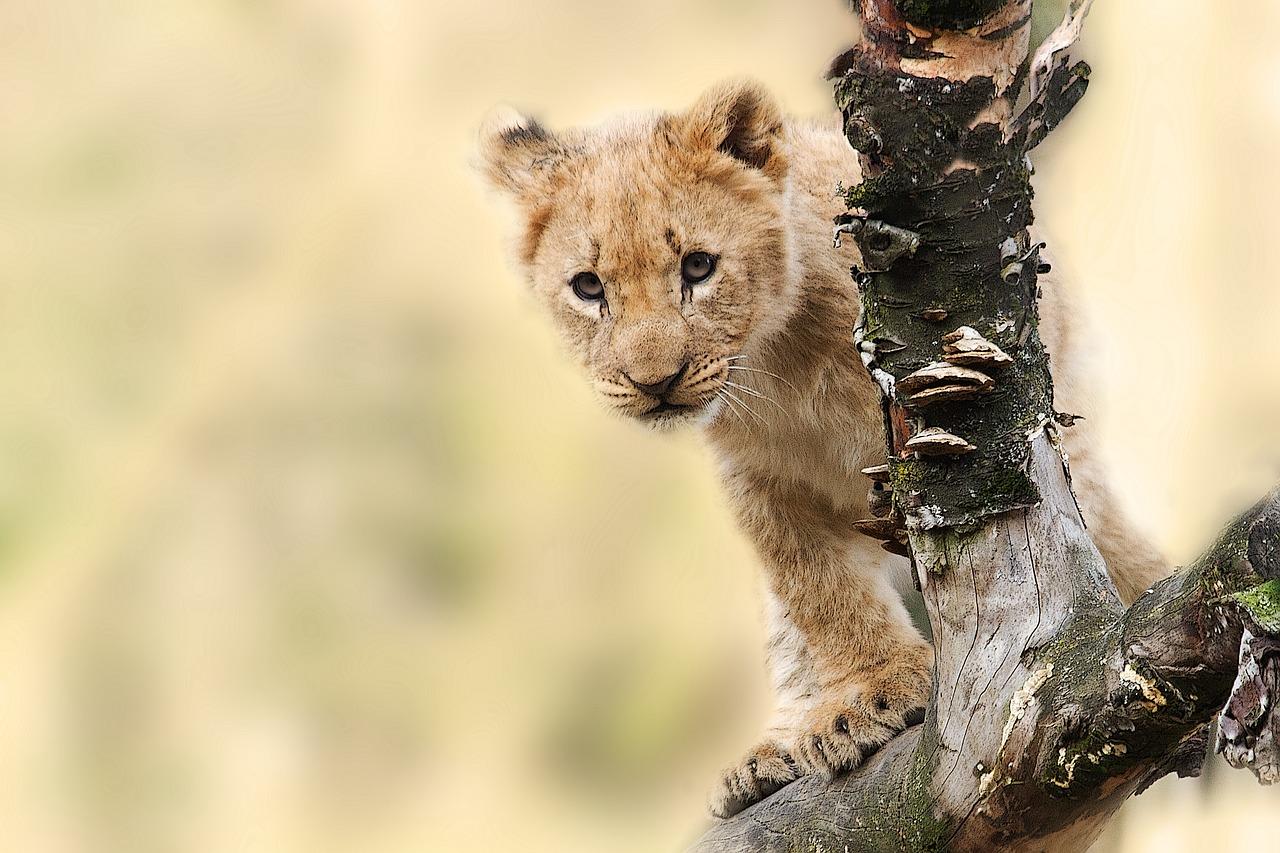 mimpi anak singa