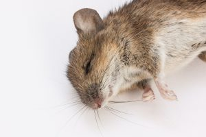 Apa Arti Mimpi Tikus Mati?