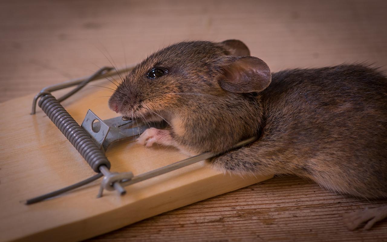 mimpi makan tikus