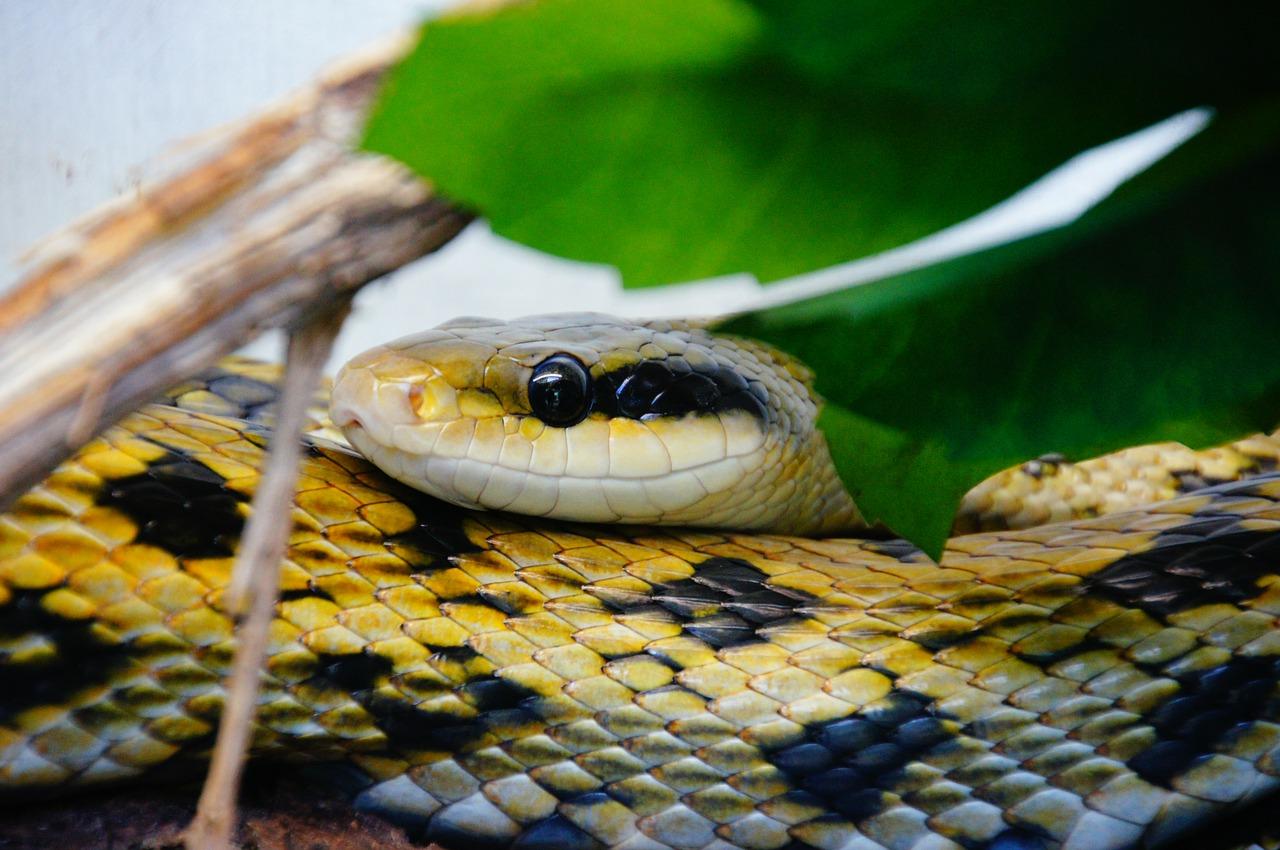 mimpi dikejar ular kuning