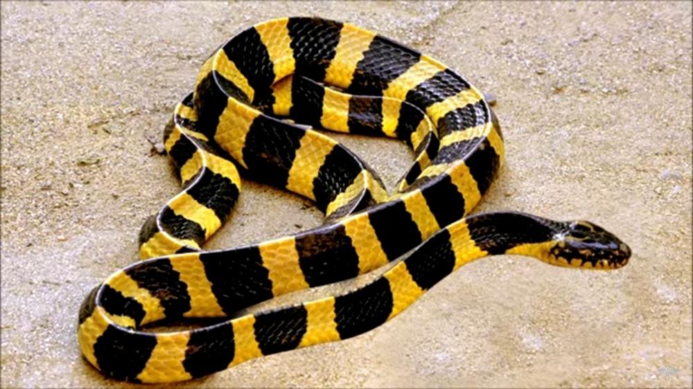 mimpi ular belang kuning hitam