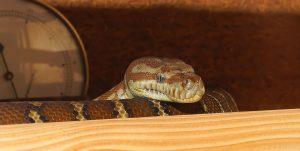 arti mimpi ular coklat
