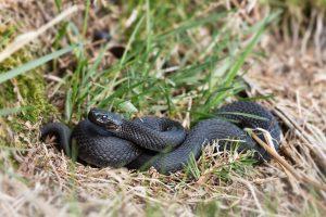 mimpi ular kobra hitam