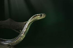 mimpi melihat ular kobra hitam besar