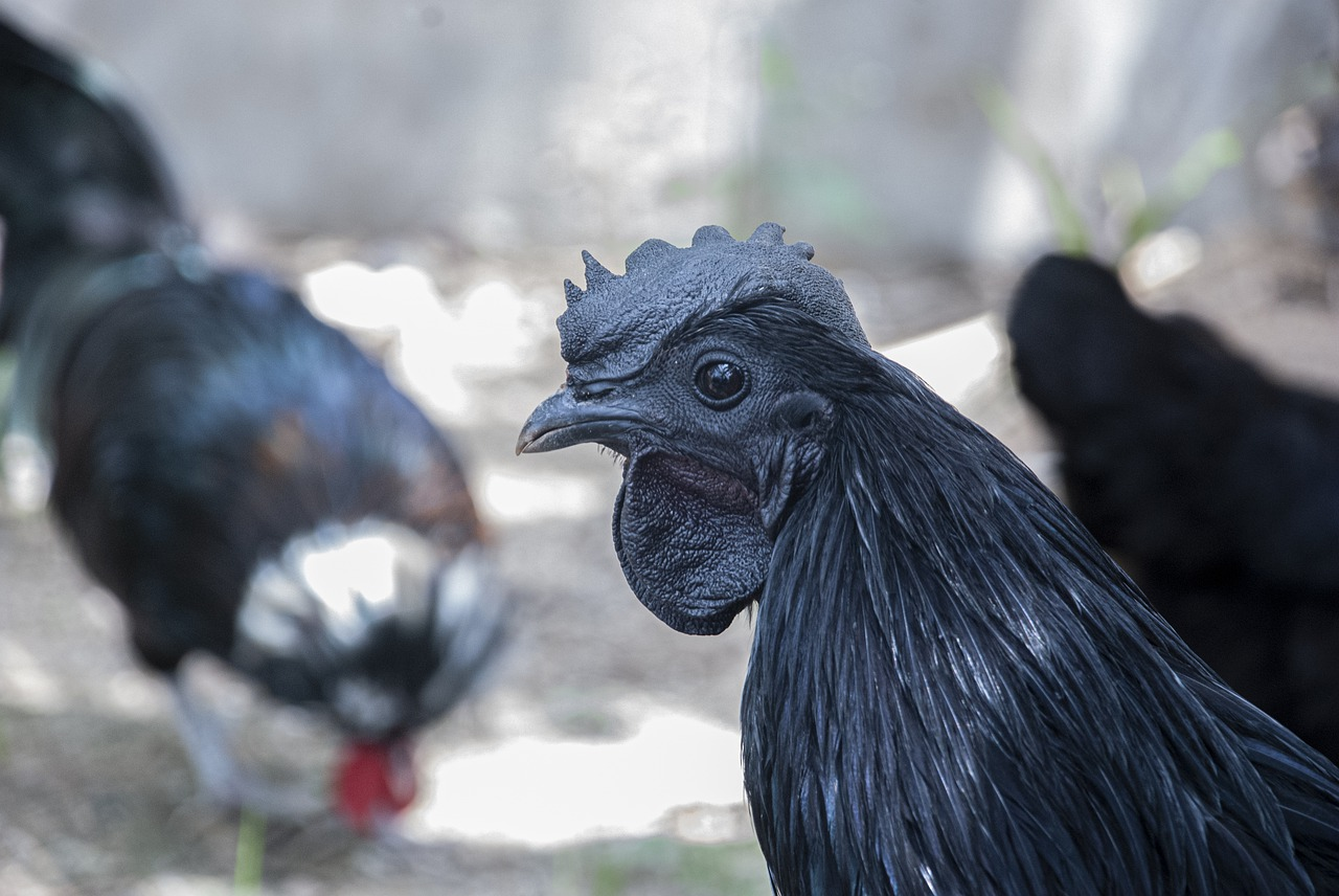 mimpi melihat ayam cemani