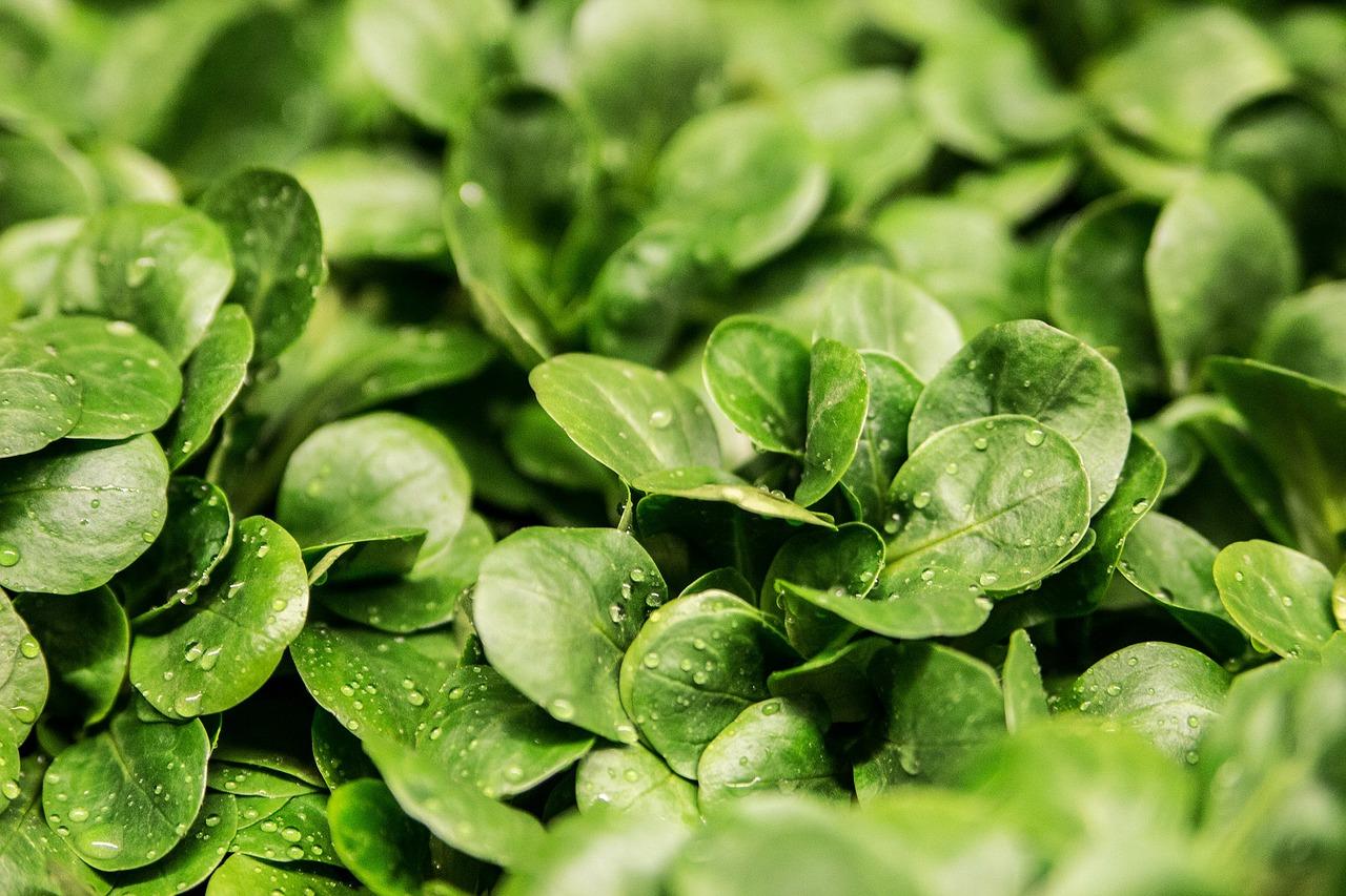 mimpi sayuran hijau