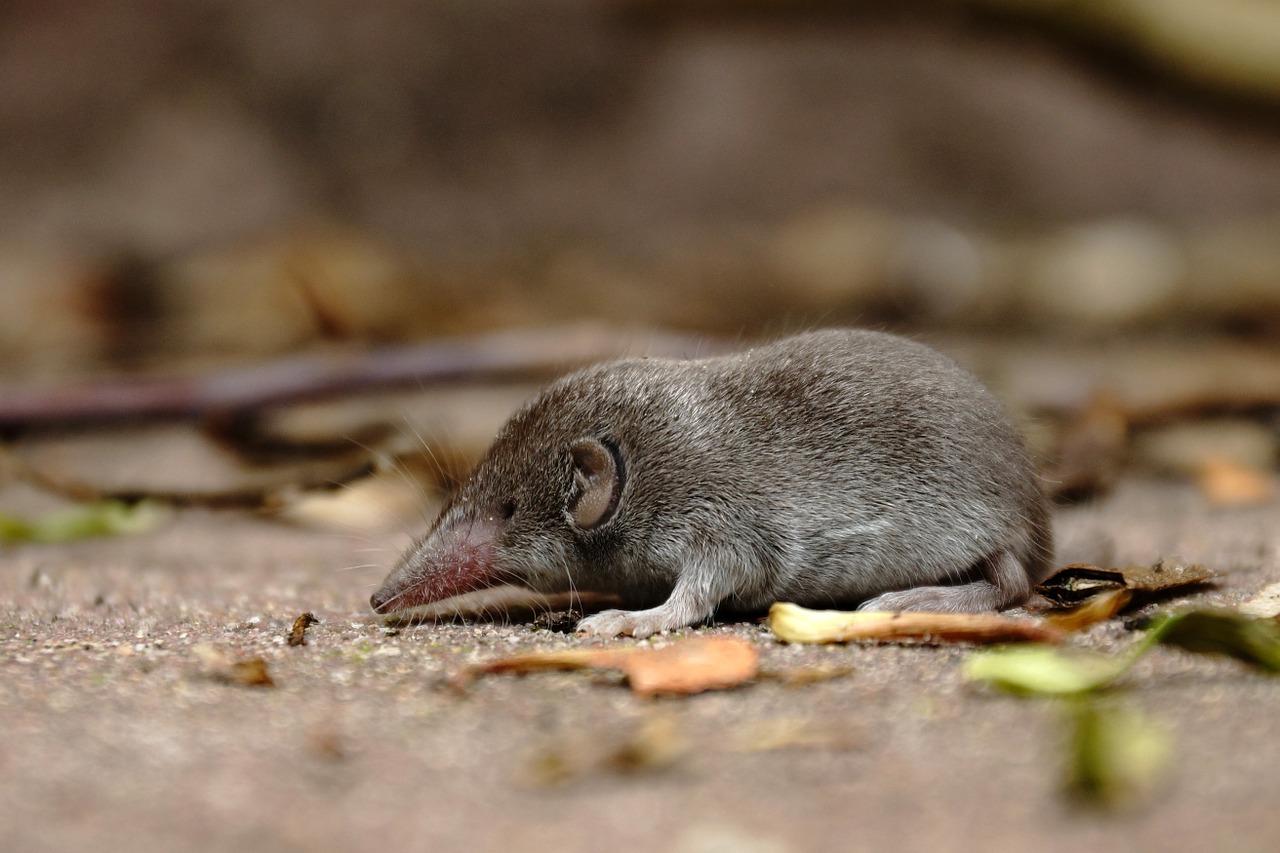 mimpi tikus curut