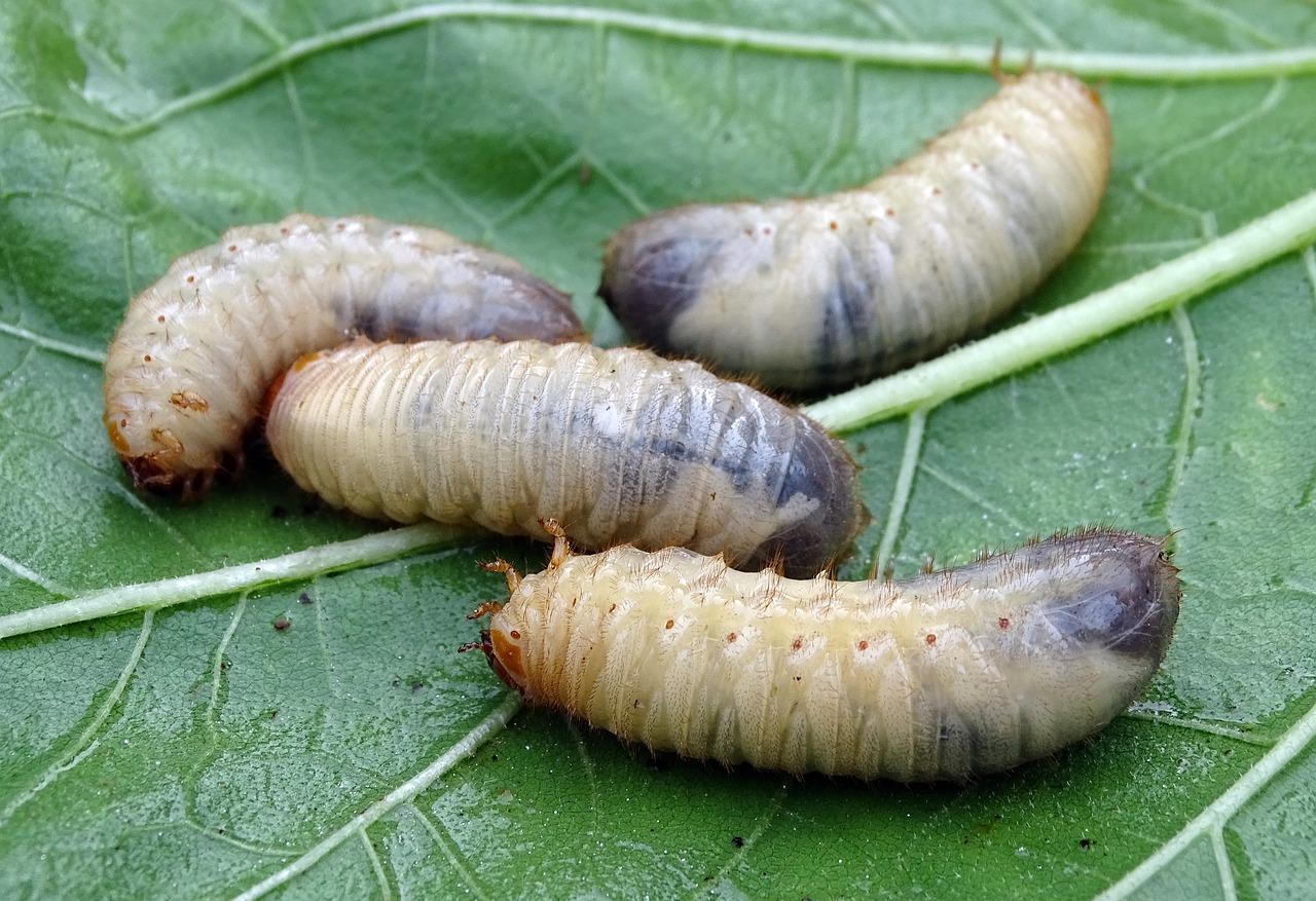Arti Mimpi Melihat Larva